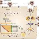 Ciclo vital del coronavirus de la hepatitis del ratón