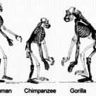 Esqueletos de hominoides